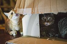 Zwei Katzen, die mit Karton spielen