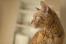 Nahaufnahme einer braunen Katze mit Blick nach Hause