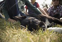 Portrait schwarz-weißer Hund im Gras liegend