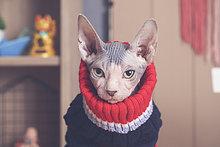 Portrait von Sphynx Katze mit Pullover