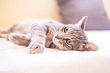 Tabby Katze entspannt auf dem Bett