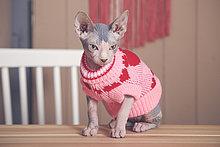 Portrait der Sphynx-Katze auf dem Tisch mit rosa Pullover
