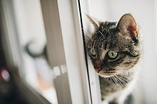 Tabby Katze beobachtet etwas