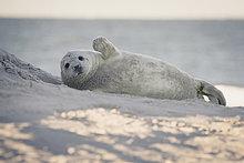 Deutschland, Helgoland, Seehund am Strand liegend