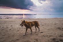 Thailand, Phi Phi Phi Inseln, Ko Phi Phi Phi, Hund am Strand bei Sonnenuntergang